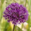 Bulbi Allium Aflatunense (Ceapa decorativa)
