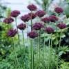 Bulbi Allium Atropurpureum (Ceapa decorativa)