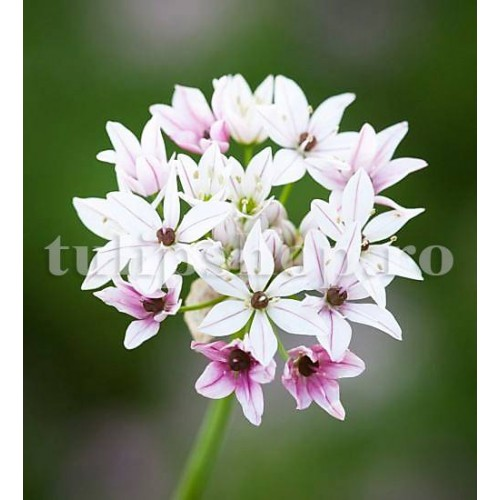 Bulbi Allium Cameleon (Ceapa decorativa)