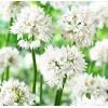 Bulbi Allium Graceful (Ceapa decorativa)