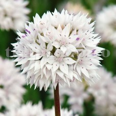 Bulbi Allium Graceful (Ceapa decorativa)