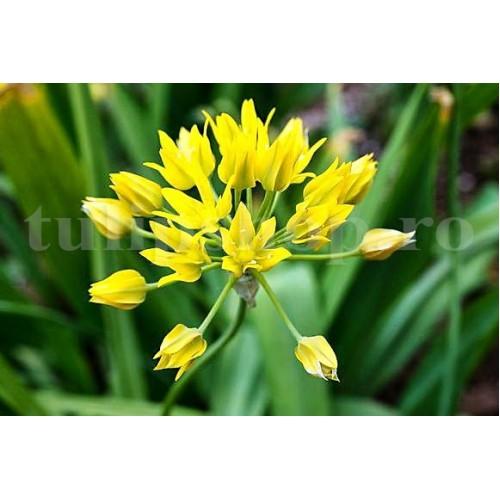 Bulbi Allium Moly (Ceapa decorativa)