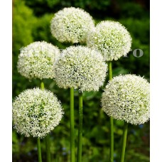 Bulbi Allium Mount Everest (Ceapa decorativa)