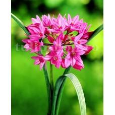 Bulbi Allium Oreophilum (Ceapa decorativa)
