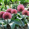 Bulbi Allium Red Giant (Ceapa decorativa)