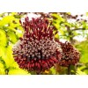 Bulbi Allium Red Mohican (Ceapa decorativa)