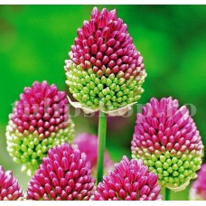 Bulbi Allium Sphaerocephalon (Ceapa decorativa)