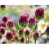 Bulbi Allium Sphaerocephalon (Ceapa decorativa)