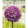 Bulbi Allium Summer Drummer (Ceapa decorativa)