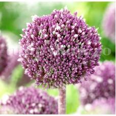Bulbi Allium Summer Drummer (Ceapa decorativa)