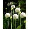 Bulbi Allium White Cloud (Ceapa decorativa)
