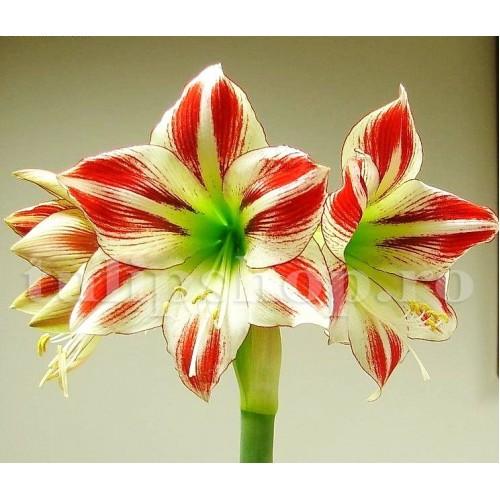 Bulbi Amaryllis Ambiance (Hipperastrum)