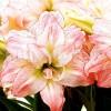 Bulbi Amaryllis Aphrodite (Hipperastrum)