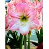 Bulbi Amaryllis Apple Blossom (Hipperastrum)