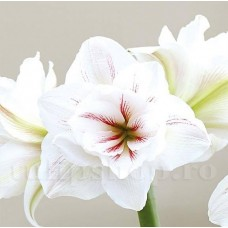 Bulbi Amaryllis Aquaro (Hipperastrum)