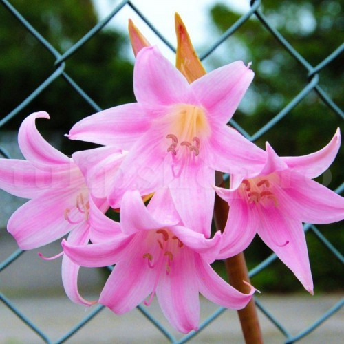 Bulbi Amaryllis Belladonna (Hipperastrum)