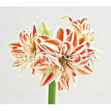 Bulbi Amaryllis Dancing Queen (Hipperastrum)