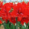 Bulbi Amaryllis Double Delicious (Hipperastrum)
