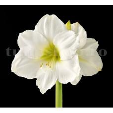 Bulbi Amaryllis Mont Blanc (Hipperastrum)