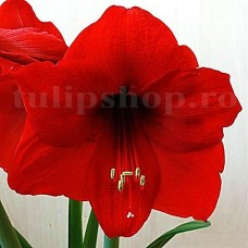 Bulbi Amaryllis Red Lion (Hipperastrum)