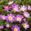 Bulbi Anemone Pink Star