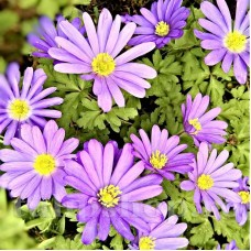 Bulbi Anemone Violet Star