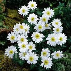Bulbi Anemone White Splendour