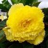 Bulbi Begonia Creata Galbena