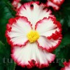 Bulbi Begonia Crispa Marginata Alba