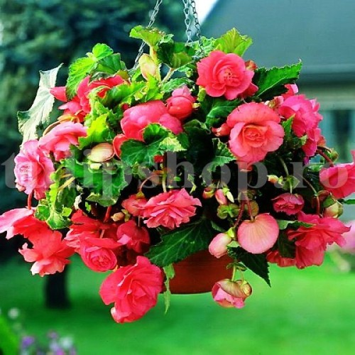 Bulbi Begonia Curgatoare Roz