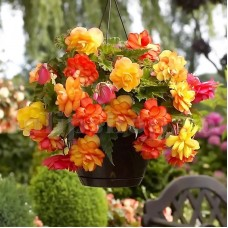 Bulbi Begonia Golden Balcony