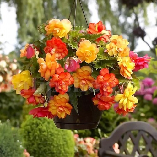Bulbi Begonia Golden Balcony
