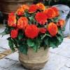 Bulbi Begonia Nonstop Portocalie