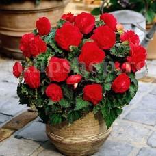 Bulbi Begonia Nonstop Rosie