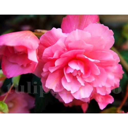 Bulbi Begonia Nonstop Roz