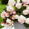 Bulbi Begonia Odorata Angelique