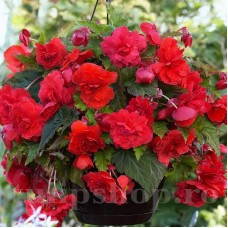 Bulbi Begonia Odorata Red Glory