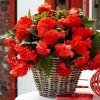 Bulbi Begonia Odorata Red Glory