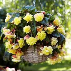 Bulbi Begonia Odorata Sunny Dream