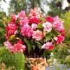 Bulbi Begonia Pink Balcony