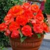 Bulbi Begonia Superba Orange