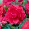 Bulbi Begonia Superba Pink