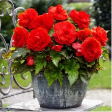 Bulbi Begonia Superba Red