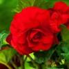 Bulbi Begonia Superba Red