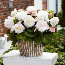 Bulbi Begonia Superba White
