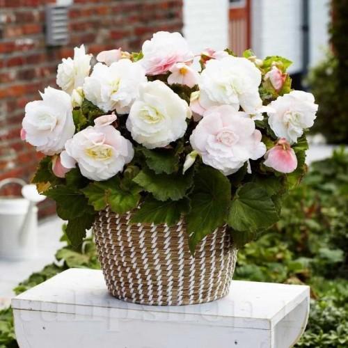 Bulbi Begonia Superba White