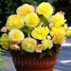 Bulbi Begonia Superba Yellow