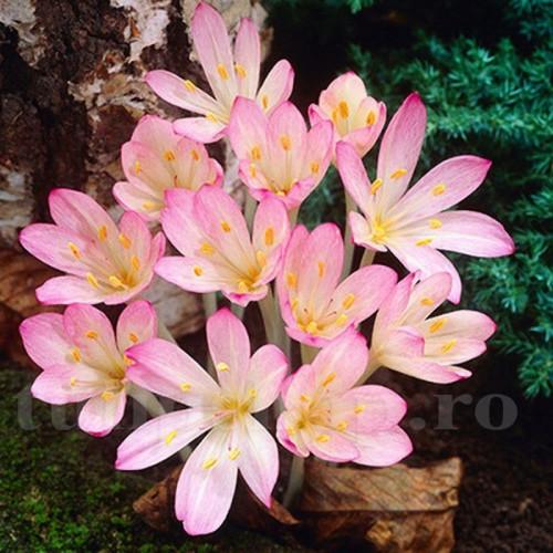 Bulbi Branduse Cilicicum (Colchicum)