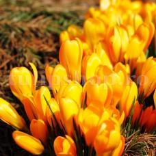 Bulbi Branduse Golden Yellow (Crocus)