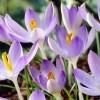 Bulbi Branduse Lilac Beauty (Crocus)